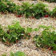 Мульчирование почвы: особенности использования травы, опилок, коры, хвои, пленки