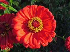 Zinnia elegans From the Swallowtail Garden Seeds collection of botanical photographs and illustrations. Zinnia Elegans, Annual Flowers, Garden Seeds, Flower Images, Zinnias, Beautiful Flowers, Bloom, Orange, Plants