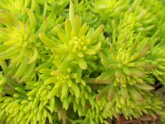 sedum mexicanum green mound - Sometimes known as Mexican stonecrop, the fleshy, succulent groundcover cultivar known as 'Gold Mound' (ht 10-25cm) forms an effective textured carpet of tiny leaves in sun or shade.