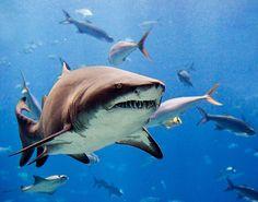 Sand Tiger shark at the Georgia Aquarium - http://www.facebook.com/pages/Protégeons-les-requins/175814582526962