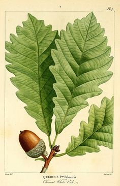 Biodiversity Heritage Library / vintage print. #acorn #autumn This website is a great resource for beautiful prints! Free!