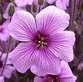 Feminine Personae: aries Geranium, Sweet Pea, Honeysuckle