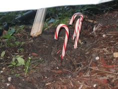elf gives kids directions to plant some magic mint seeds (peppermints) outside / in a pot inside and - BAM - the next day, candy canes sprout up