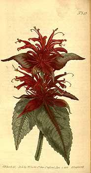 1774 Monarda didyma L. / Curtis's Botanical Magazine, vol. 15: t. 546 (1801) [S.T. Edwards]