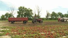 tomato-harvest.jpg (620×349)