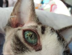 Turbo, our sphynx cat laying in the sun letting me take a close-up photo of his eye :)