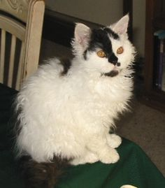 Selkirk Rex cat~