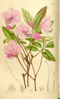 Illustration in Curtis Botanical Magazine held in Biodiversity Heritage Library.  Cited as an example of Rhododendron mucronulatum in Chamberlain, D.F. (1982) A Revision of Rhododendron II. Subgenus Hymenanthes.
