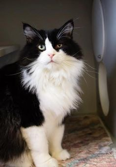 Meet SPIRIT, a Petfinder adoptable Domestic Long Hair-black and white Cat | Alpine, TX | Spirit is somewhat aloof and would prefer to be an only cat although she might get along with a cat...