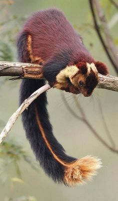 The Indian giant squirrel, or Malabar giant squirrel, (Ratufa indica) is a large. - The Indian giant squirrel, or Malabar giant squirrel, (Ratufa indica) is a large… – – - Interesting Animals, Unusual Animals, Rare Animals, Animals And Pets, Funny Animals, Wild Animals, Giant Animals, Adorable Animals, Beautiful Creatures