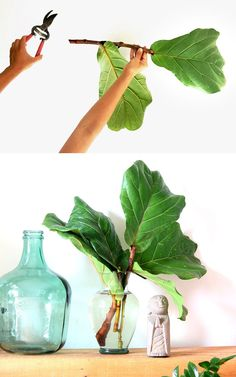 Fiddle Leaf Fig Propagation: Success in 2 Easy Ways! Fiddle Leaf Fig propagation in 2 easy ways with success rate on all our stem cuttings! Lots of tips on how to multiply & grow FREE Fiddle Fig trees. – A Piece of Rainbow indoor plants, housepla Ficus, Water Plants Indoor, Indoor Herbs, Fig Leaves, Plant Leaves, Coleus, Plant In Glass, Grands Pots, Fiddle Leaf Fig Tree