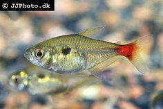 Hemigrammus stictus -  Red Base Tetra, Bloodtail Tetra, South America