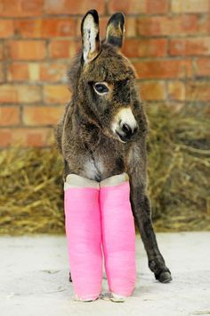 Three-week-old Primose was saved by vets who put her under-developed legs in casts until they are strong enough to support her.