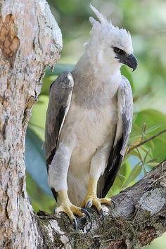 "Harpy Eagle.     (""Foto gavião-real (Harpia harpyja) por Anselmo d`Affonseca."")"