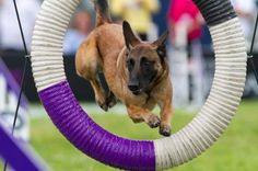 #Agility... #Belgian #Malinois can do it all!