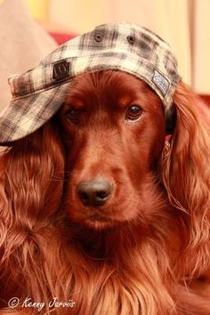 Red Irish #Setter #Puppy #Dogs What a beauty!