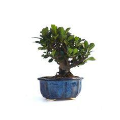 1000 images about shohin bonsai on pinterest bonsai bonsai trees and mame bonsai. Black Bedroom Furniture Sets. Home Design Ideas