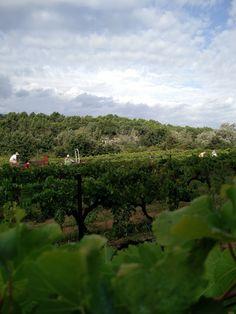 Vacqueyras Vine Landscape - Rhonéa