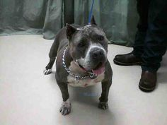 Another dark blue extreme American Bully type American Pit Bull Terrier adult female with cropped ears, huge head, heavy bone and low and wide body. Probably came to the shelter with the blue male American Bully. Blue bullies are not rare and blue pi