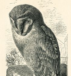Antique owl print barn owl eagle owl tawny owl engraving