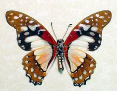 Rare Graphium Angolanus Real Butterfly 6257 by REALBUTTERFLYGIFTS, $29.99
