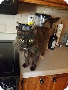 Homewood, AL - Domestic Longhair. Meet Malibu, a cat for adoption. http://www.adoptapet.com/pet/15193276-homewood-alabama-cat