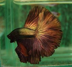 Copper gold fish