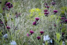 Cirsium rivulare 'Atropurpureum' Cottage Front Garden, South Facing Garden, Tree Identification, Colorful Garden, Back Gardens, Garden Plants, Perennials, Planting Flowers, Garden Design