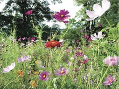 """While these are wildflowers, they're perfect for a """"cottage"""" garden look - Cosmos and Zinnias Succulents Garden, Planting Flowers, Wild Flowers, Beautiful Flowers, Welcome To The Future, Florida Gardening, Felder, Zinnias, Garden Gates"""