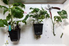 Varför man halshugger tomater och vilka effekter det ger. Diy Projects, Plants, Inspiration, Instagram, Gardening, Garden Ideas, Education, Biblical Inspiration, Lawn And Garden