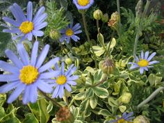ブルーデージー 別名 瑠璃雛菊(ルリヒナギク) 花言葉 「幸福」「恵まれている」「美は常に新しい」