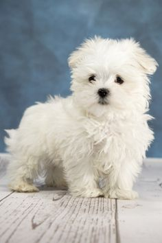 The Maltese is some of the oldest and also most adorable of the toy bread of dogs. Brilliant, soft, plus cuddly, it can be no wonder why Maltese dog puppies are becoming more and more well-known as pets. Cute Teacup Puppies, Mini Puppies, Cute Dogs And Puppies, Pet Dogs, Pets, Doggies, Cute Funny Animals, Cute Baby Animals, Dog Snapchats