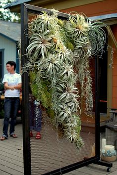 "tillandsia display - Awesome display of ""Air Plants"" Hanging Air Plants, Indoor Plants, Indoor Herbs, Indoor Gardening, Balcony Gardening, Diy Hanging, Gardening Tips, Garden Plants, House Plants"