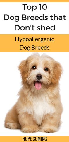 """Are you allergic to Dog Hair? Do you find dog hair all around your house a cumbersome process to clean? Here's the list of Top 10 Dog Breeds that Don't Shed aka Hypoallergenic Dog Breeds   Low Maintainance Dog Breeds   Fluffy Dog breeds   <a href=""""https://hope-coming.com/"""">Hope Coming</a>"""