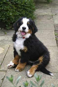 Bernese Mountain Dog puppy...look at that happy face!