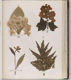 Dickinson, Emily, 1830-1886. Herbarium, circa 1839-1846