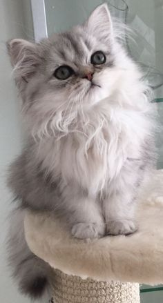 Amour de chat 🧡🧡🧡 chats calin – Chats et chatons- chaton mignon -b… Cute Baby Cats, Cute Cats And Kittens, Cute Baby Animals, I Love Cats, White Kittens, Adorable Kittens, Grey Kitten, Kittens Cutest Baby, Kitten Gif