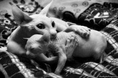 sphynx cat and kitten