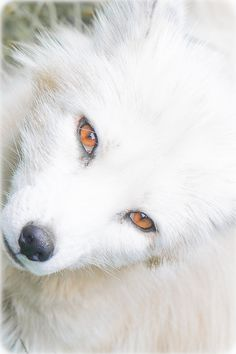 I AM IN LOVE WITH THIS ARCTIC FOX!!!<3. It's the eyes