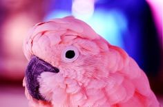 Inspiring image animal, cute, papagei, pink - Resolution - Find the image to your taste Pretty Birds, Beautiful Birds, Animals Beautiful, Cute Animals, Pink Animals, Pink Love, Pretty In Pink, Perfect Pink, Pink Cockatoo