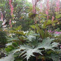 RHEUM palmatum var. tanguticum Dahlia, Large Leaf Plants, Big Leaves, Back Gardens, Tropical Plants, Garden Art, Cottage, Landscape, Nature