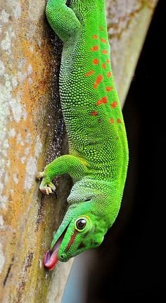 Green lizard with red spots (gecko? The Animals, Nature Animals, Les Reptiles, Reptiles And Amphibians, Mammals, Beautiful Creatures, Animals Beautiful, Tier Fotos, Animal Kingdom