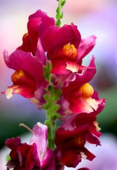 How to Grow Snapdragons | Planet Natural