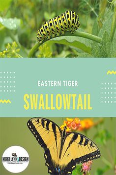 Identifying the Eastern Tiger Swallowtail -The male is yellow with four black tiger stripes on each forewing. Females may be either yellow or black. Hummingbird Nests, Hummingbird Garden, Abc Garden, Nikki Lynn, Nectar Recipe, Growing Gardens, Black Tigers, How To Attract Birds, Humming Bird Feeders