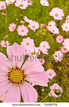 Cosmos Field by ByBethy, via ShutterStock Cosmos, Photo Editing, Royalty Free Stock Photos, Illustration, Plants, Pictures, Image, Editing Photos, Photos