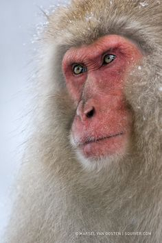 Snow monkey.......I JUST DON'T KNOW ABOUT THIS GUY.......I'D BE AFRAID TO AGITATE HIM IN ANY WAY, SHAPE OR FORM........ccp