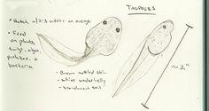 20 March 2012 - Pacific Chorus Frog (Pseudacris regilla) - Process of metamorphosis