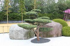 Pinus bonsai Pinus gartenbonsai Pinus tuinbonsai Pinus gardenbonsai