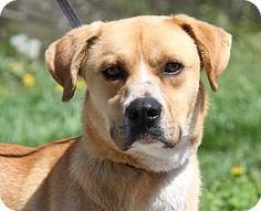 Marietta, OH - Boxer/Labrador Retriever Mix. Meet Rex, a dog for adoption. http://www.adoptapet.com/pet/17973180-marietta-ohio-boxer-mix