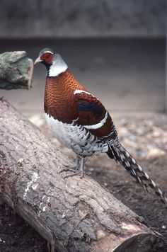 Elliot's Pheasant  (Syrmaticus ellioti)